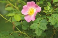 Řada Rosa